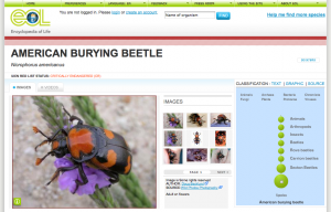 The American Burying Beetle Page from the Encyclopedia of Life