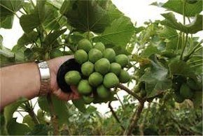 After Restructuring, SGB Raises $11M for Jatropha Commercialization