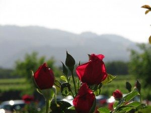 A rose garden accents the grounds at the Silver Oak Cellars winery in Oakville.