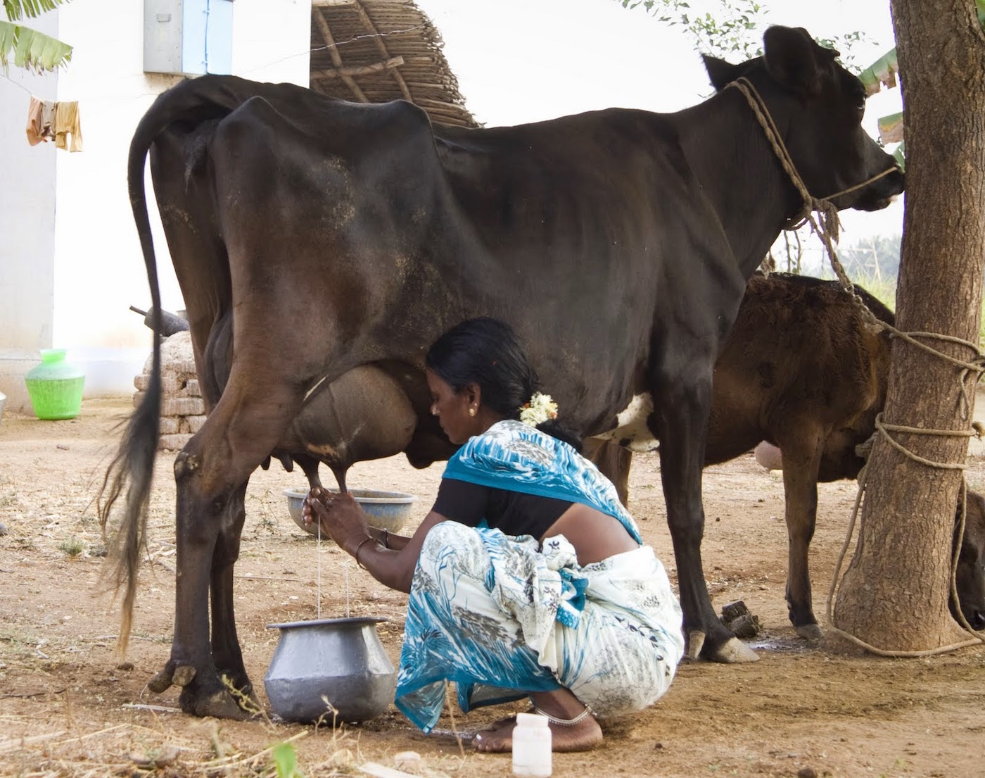 A woman milks a cow in southeastern India. Photo courtesy of Sorin Grama and Lance Casey.