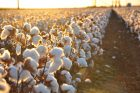 Indigo's Microbial Treatment for Cotton Reaps Gains in Crop Yields