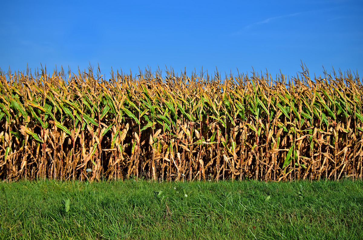 Fields of Corn (Flickr public domain image by Michael Pardo)
