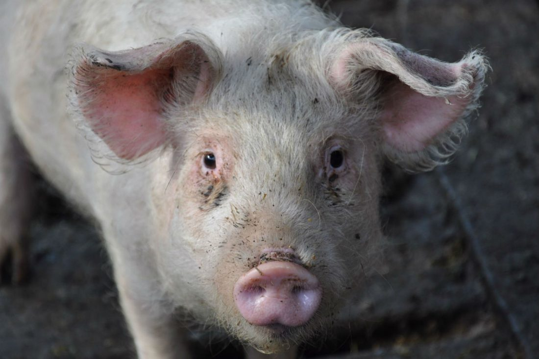 CRISPR Organs? eGenesis Raises $38M For Pig-To-Human Transplants