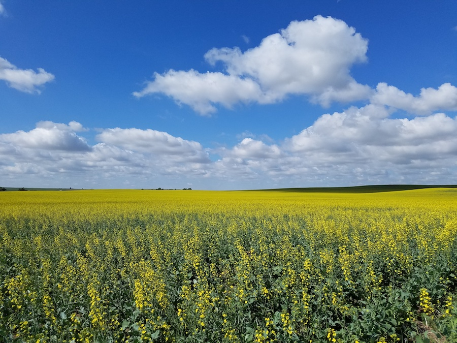 Cibus-bred Canola growing southwest of Bismarck ND (Cibus photo used with permission)