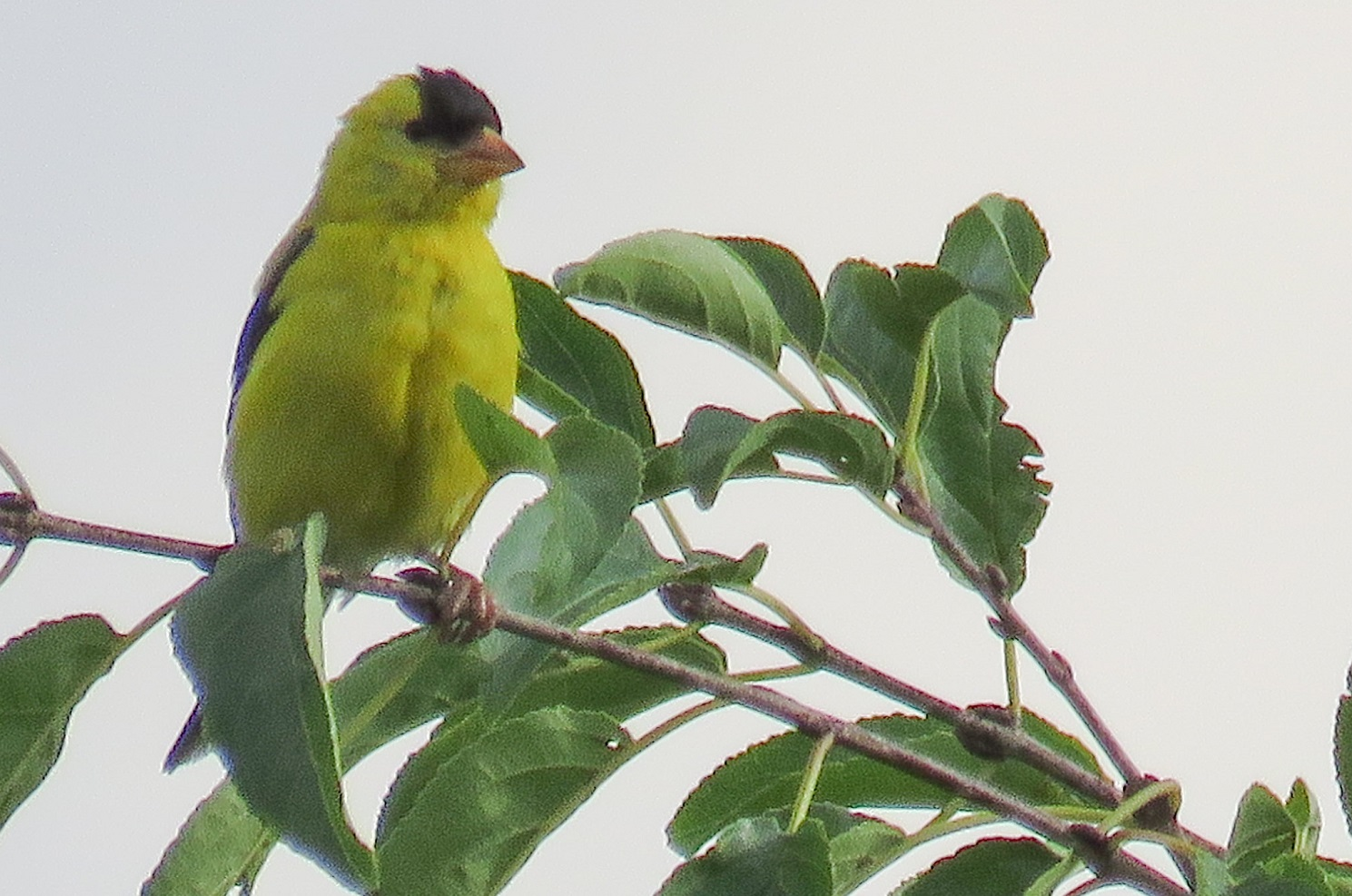 Goldfinch on tree