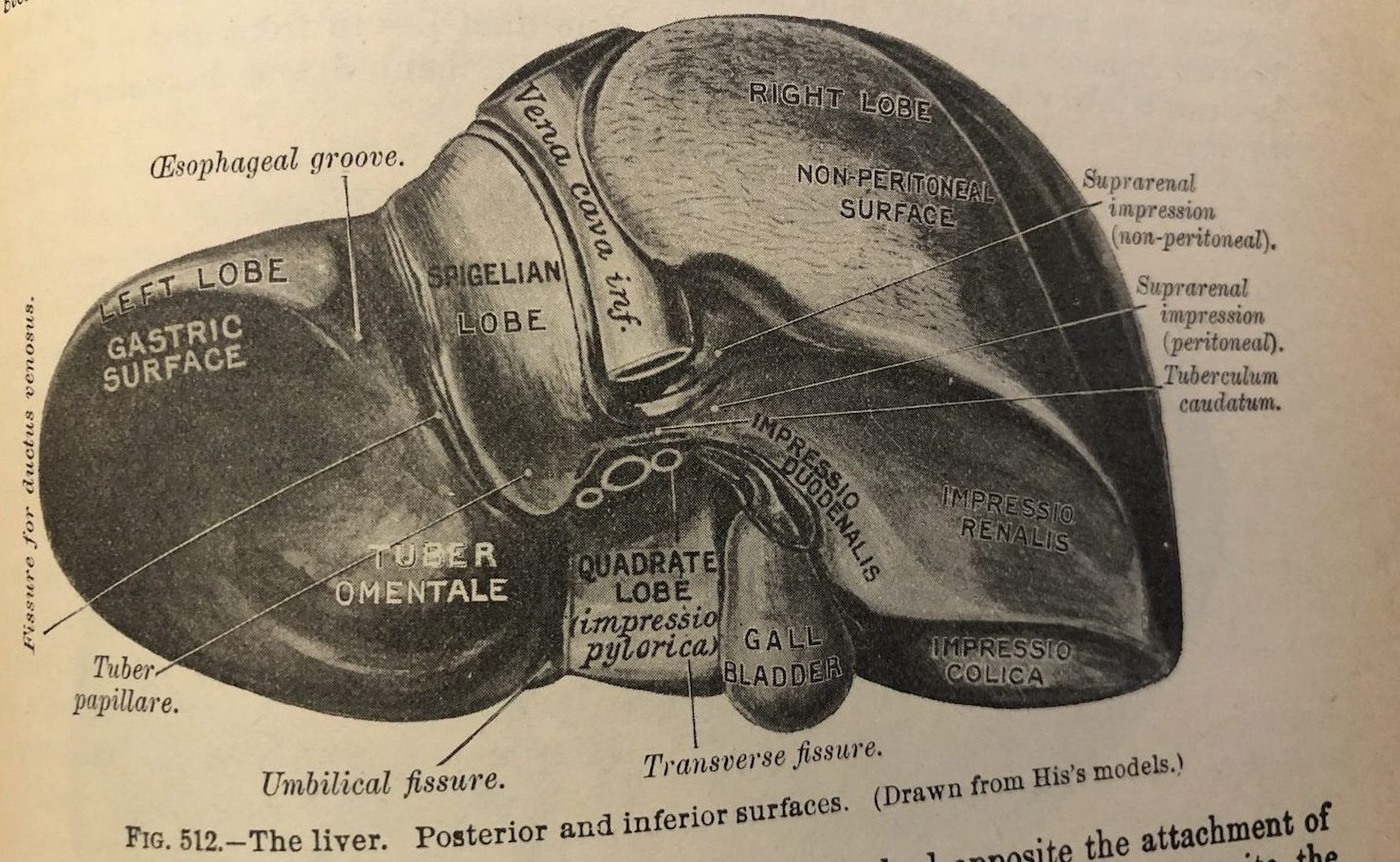 Liver diagram from Gray's Anatomy