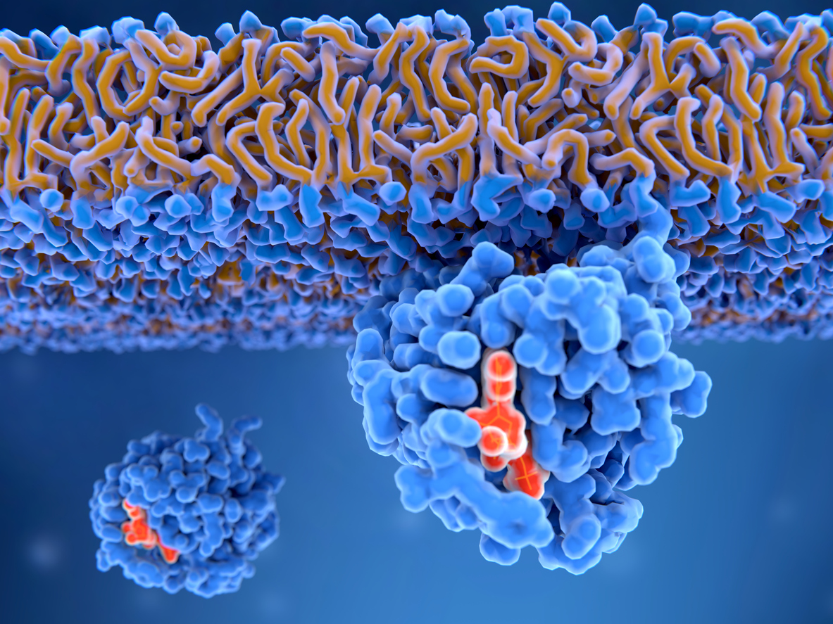 Activated Ras protein attached to the cell membrane. Ras oncogenes lead to uncontrolled cell differentiation.