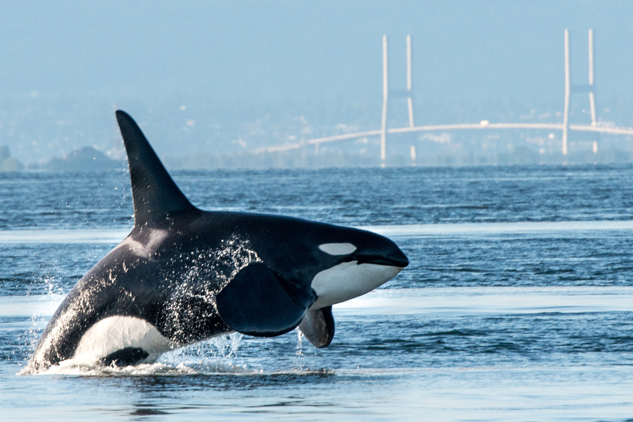 Orca breaching in Vancouver Harbor